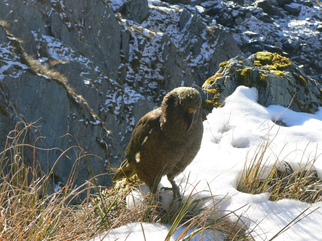kea resized