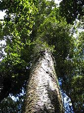 170px-agathis_australis_waipua_2005_a