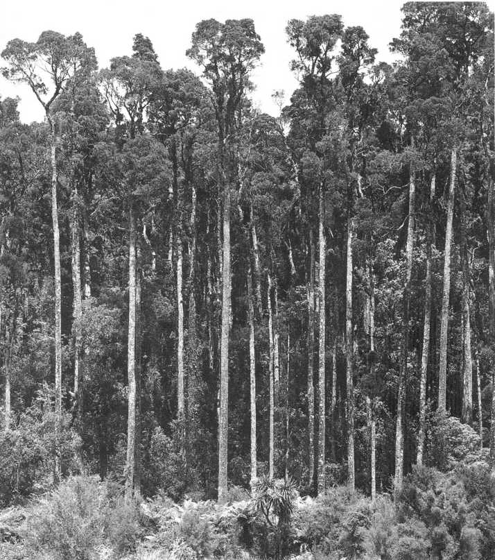 kahikatea-swamp-forest