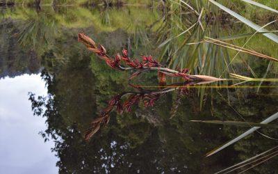 Harakeke Flax Flowering on Lake Mapourika