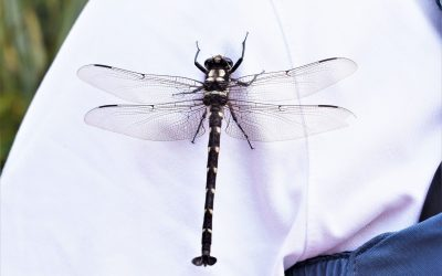 Damselflies and Dragonflies on Lake Mapourika