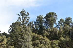 A view of the canopy trees on Lake Mapourika