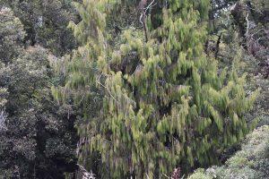 Rimu trees on Lake Mapourika