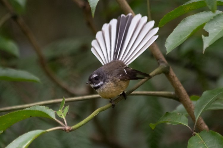 The Fantail / Piwakawaka
