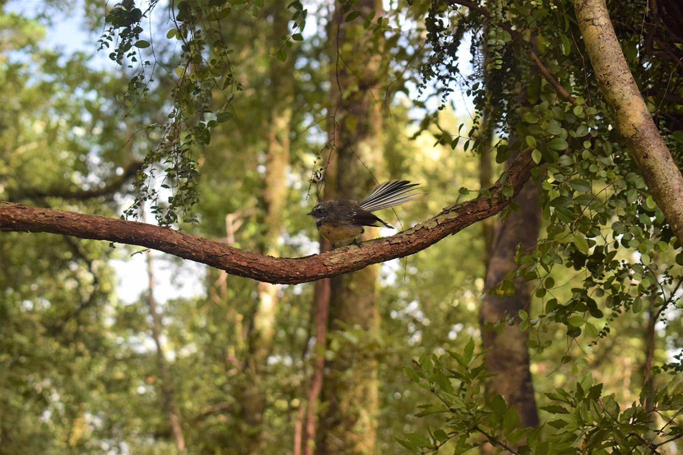 A New Zealand Fantail in the forest on Lake Mapourika