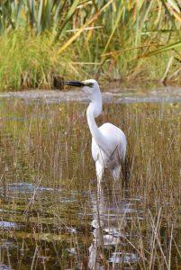 White heron feeding on Lake Mapourika